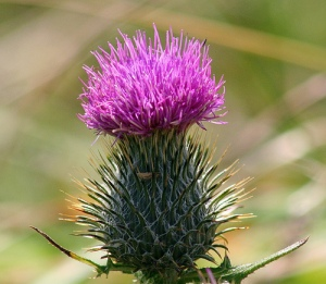 The Scottish Flower, Thistle